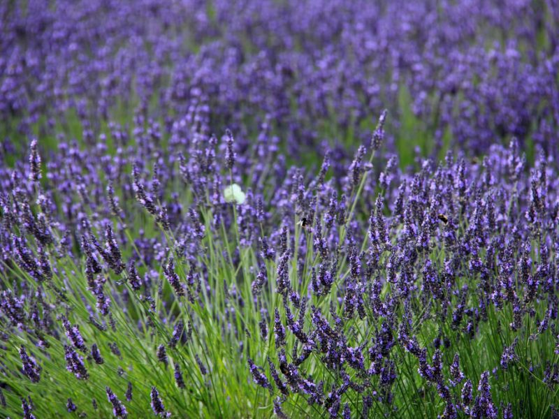 Cotswold Lavender, Open Daily, Worcs