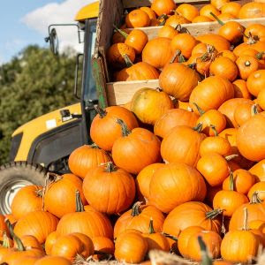 Pumpkin Patch at Cotswold Farm Park, 22 – 30 Oct & Weekends in Oct